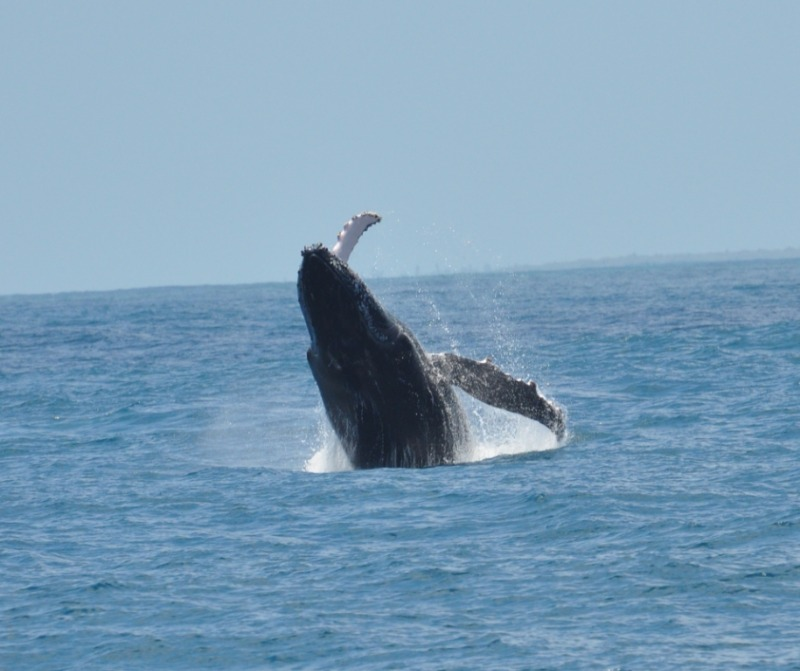Part of the  Humpback whale migration Kenya - Leaping in Lamu, photo George Allen