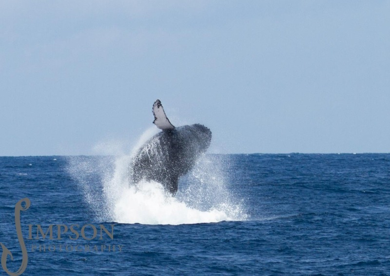Humpback whale leap Watamu photo Stuart Simpson Hemingways Watamu