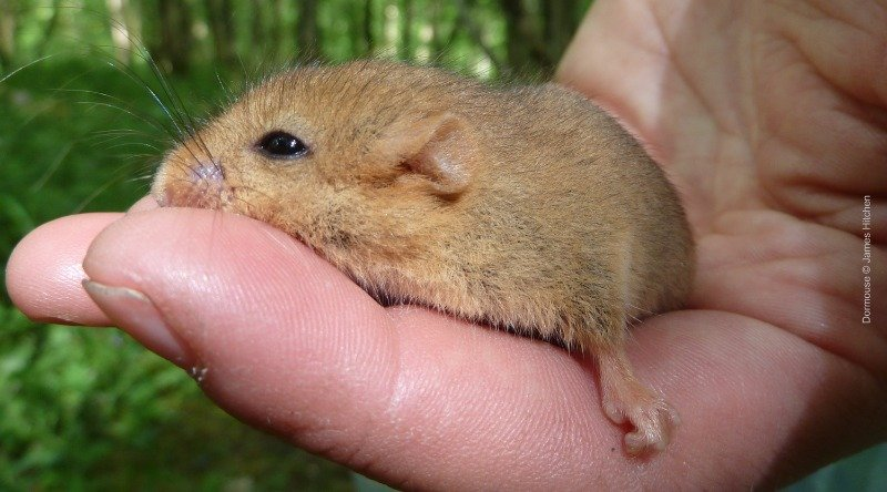 Please help us to give dormice a chance by donating today. Thank you. & Help Our Dormouse Sleep Soundly an Environment Crowdfunding ...