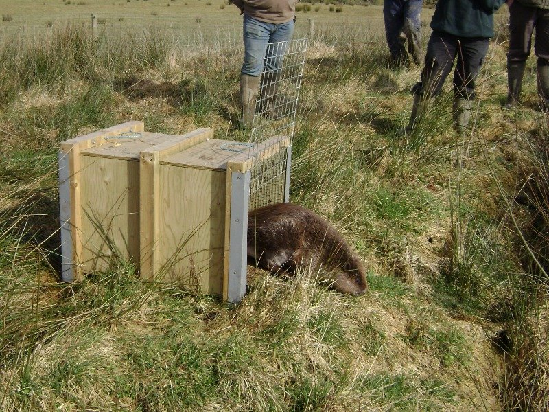 A Devon Wildlife Trust beaver being released, credit Stuart Coleman