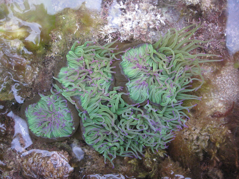 Snakelocks anemone at Freshwater Bay, Isle of Wight by Amy Marsden