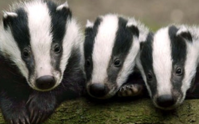 Vaccinate our badgers for TB