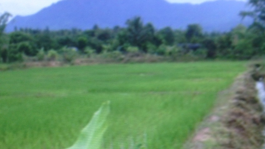 Return to Organic rice  NE Thailand