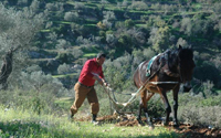 Palestinian olive harvest; photo and video project