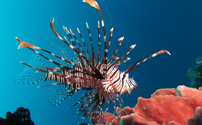 Invasive Lionfish Research in Honduras