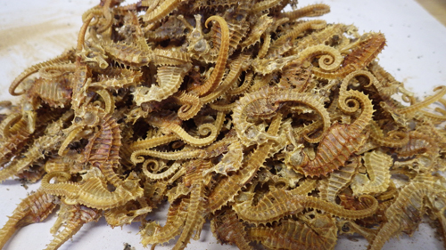 Dead seahorses siezed from a curio shop in Devon