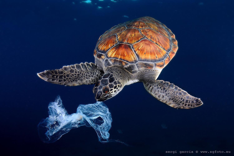 Leatherback sea turtle eating plastic bags for Temperatura tartarughe