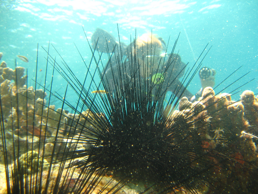 Research on  Diadema antillarun (Sea urchin)