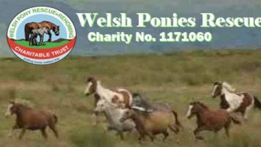 Welsh Pony Rescue & Rehoming