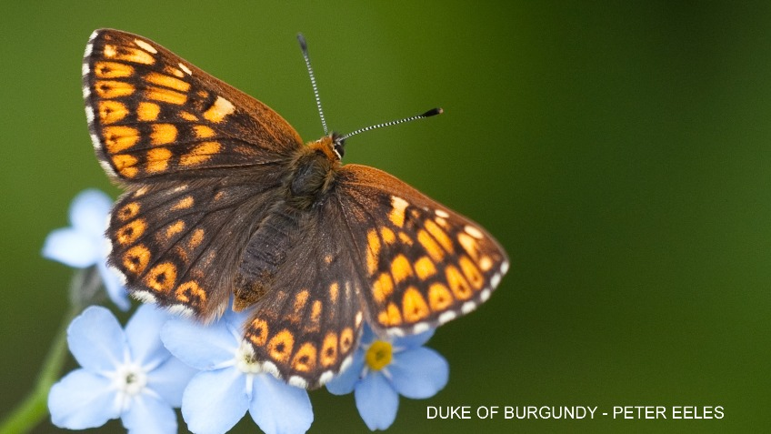 Save the Dukes of the North York Moors