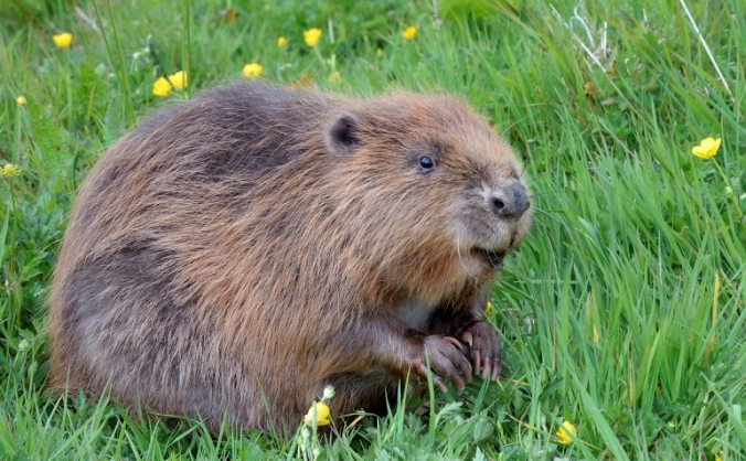 Bring beavers back to cornwall image