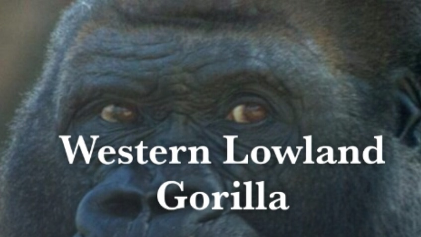 Help protect these endangered gorillas