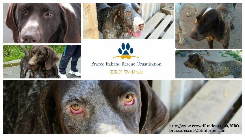 Bracco Italiano Puppies Bracco Italiano Rescue