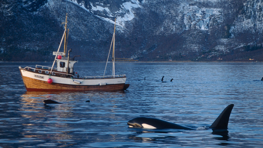 Killer whales - did harvest ruin the population?