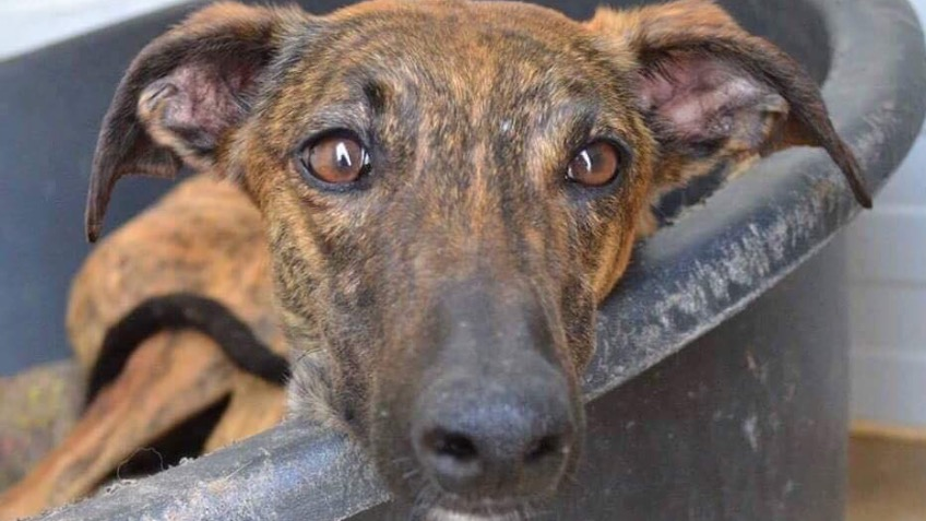 Galgos Del Sol Pounds for Hounds