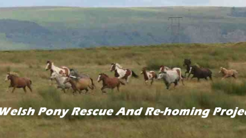 Welsh Ponies Re-homing Project
