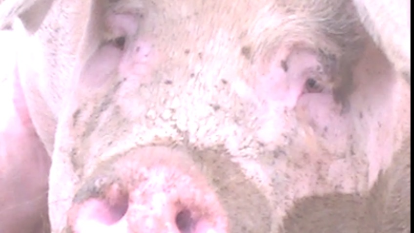 Send breedin pig to animal sanctuary not slaughter