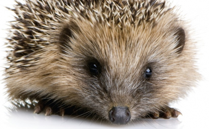 Supporting the hedgehogs in our care image