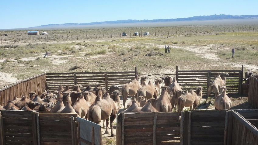 Hay for Critically Endangered Wild Camels