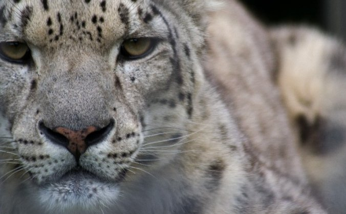 The silk road - home of the snow leopards image