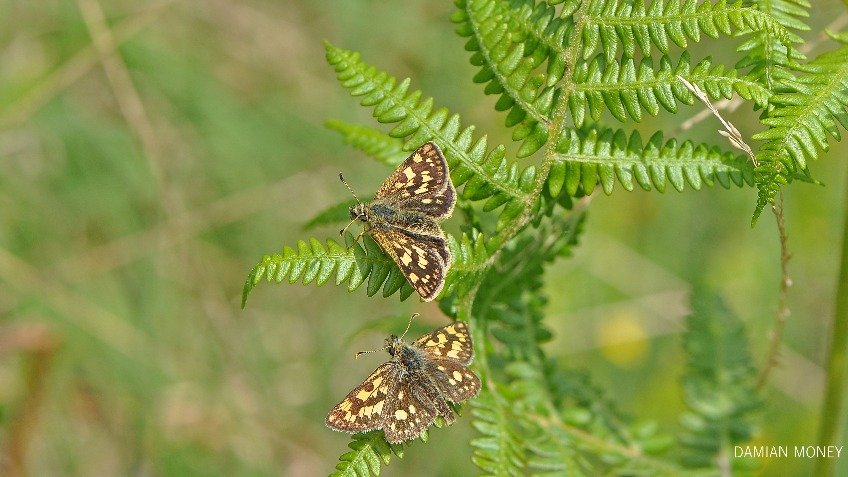 Help bring the Chequered Skipper home