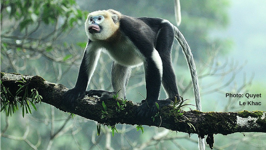 Can we save the Tonkin Snub-Nosed Monkey?