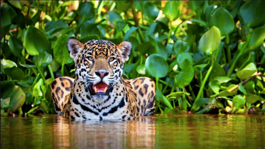 Protecting the elusive big cats of Costa Rica