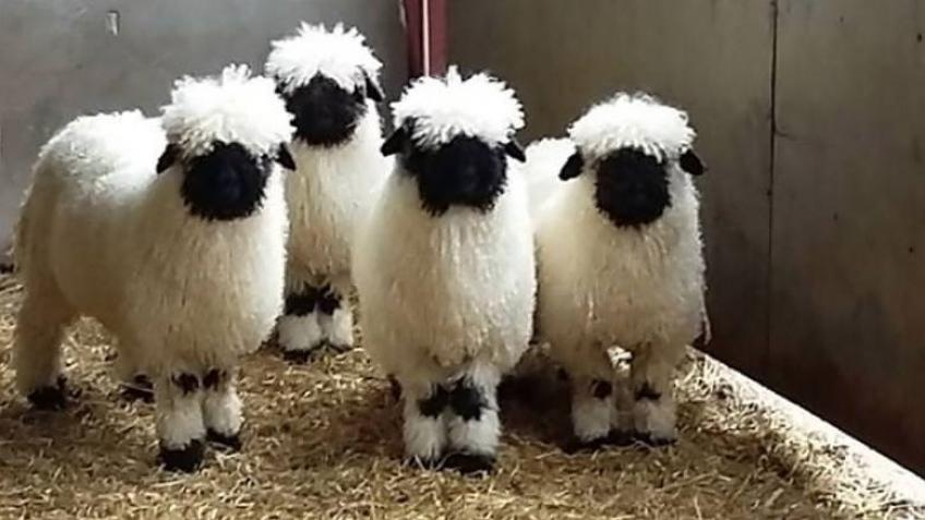 Holly's quest to breed this super cool rare sheep