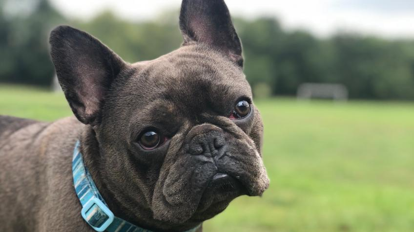 Operation for Monty the french bull dog