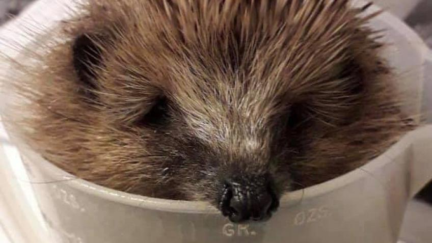 Hamble Hedgehogs' Hospital