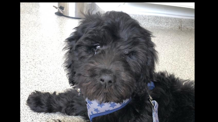 Podrick the Blind Labradoodle Puppy needs surgery
