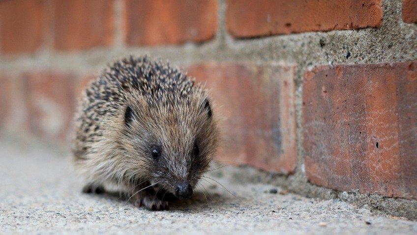 Creating a Hedgehog-Friendly Town
