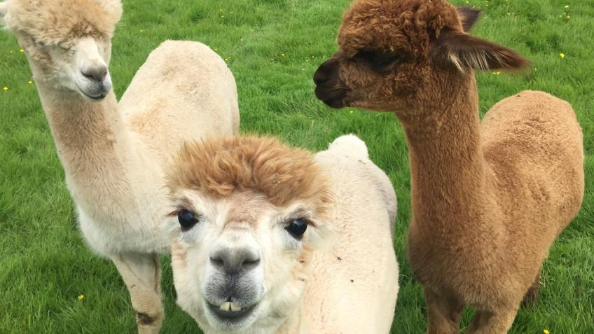 Larch Green Alpacas - Alpaca Trekking & Events
