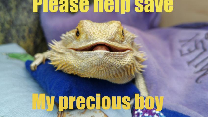 Please help get my beardie, smaug to a specialist